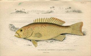 1835年 Jardine Naturalist's Library 魚類学 Pl.21 ハタ科 スジアラ属 スジアラ PLECTROPOMA LEOPARDINUS
