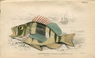 1835年 Jardine Naturalist's Library 魚類学 Pl.22 ハタ科 ハイポプレクルス属.PLECTROPOMA PUELLA