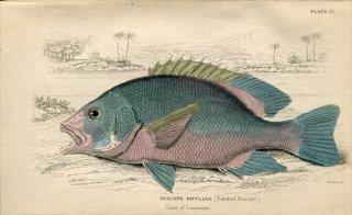 1835年 Jardine Naturalist's Library 魚類学 Pl.23 フエダイ科 フエダイ属 ナミフエダイ DIACOPE RIVULATA