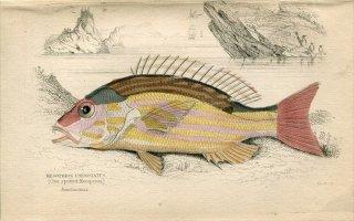 1835年 Jardine Naturalist's Library 魚類学 Pl.24 フエダイ科 フエダイ属 キセンフエダイ MESOPRION UNINOTATUS