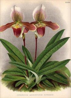 1891年 Warner Orchid Album Pl.400 ラン科 パフィオペディルム属 CYPRIPEDIUM ASHBURTONIAE SUPERBUM