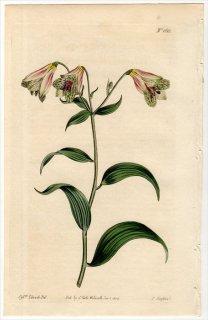 1814年 Curtis Botanical Magazine No.1613 ユリズイセン科 ボマレア属 ALSTROEMERIA SALSILLA