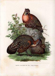 1864年 Fitzinger Bilder Atlas Fig.232 キジ科 ジュケイ属 ハイイロジュケイ Tragopan Hastingsii