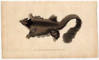 1791年 Shaw & Nodder Naturalist's Miscellany No.60 フクロモモンガ科 フクロモモンガ属 オオフクロモモンガ SOUTHERN PETAURUS