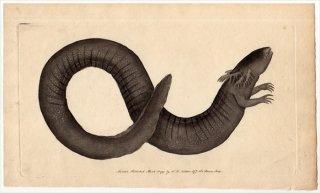 1791年 Shaw & Nodder Naturalist's Miscellany No.61 サイレン科 サイレン属 グレーターサイレン SIREN