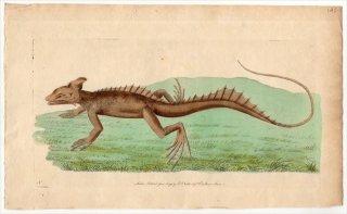 1793年 Shaw & Nodder Naturalist's Miscellany No.142 イグアナ科 バシリスク属 ブラウンバシリスク  LACERTA BASILISCUS