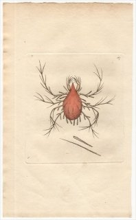 1795年 Shaw & Nodder Naturalist's Miscellany No.187 ツメダニ科 ケレトモルファ属 アシナガツメダニ LEPIDOPTERINE MITE