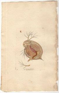 1798年 Shaw & Nodder Naturalist's Miscellany No.364 ミジンコ科 ミジンコ属 ミジンコ FLEA MONOCULUS