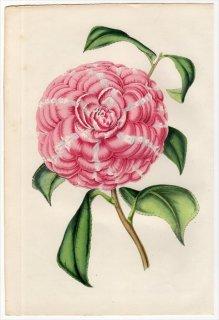 1851年 Van Houtte ヨーロッパの植物 ツバキ科 ツバキ属 CAMELLIA FRA ARNOLDO DA BRESCIA
