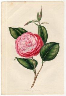 1851年 Van Houtte ヨーロッパの植物 ツバキ科 ツバキ属 CAMELLIA CAMILLE BROZZONI
