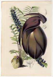 1851年 Van Houtte ヨーロッパの植物 ヤシ科 アッサムヤシ属 WALLICHIA DENSIFLORA