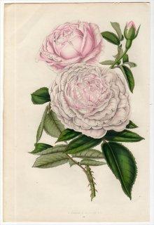 1851年 Van Houtte ヨーロッパの植物 バラ科 バラ属 ROSE QUEEN VICTORIA