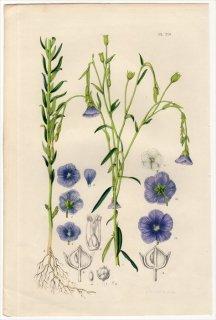 1851年 Van Houtte ヨーロッパの植物 アマ科 アマ属 アマ Linum usitatissimum リネン
