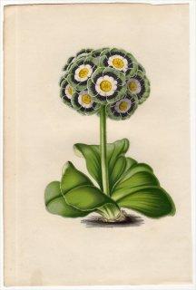 1851年 Van Houtte ヨーロッパの植物 サクラソウ科 サクラソウ属 PRIMULA AURICULA プリムラ