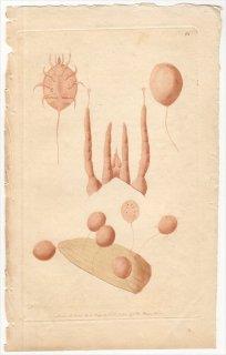 1791年 Shaw & Nodder Naturalist's Miscellany No.64 イトダニ科 VEGETATING MITE