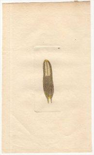 1794年 Shaw & Nodder Naturalist's Miscellany No.185 オオムカデ科 オオムカデ属 MICROSCOPIC SCOLOPENDRA
