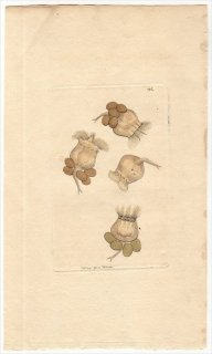 1794年 Shaw & Nodder Naturalist's Miscellany No.195 ツボワムシ科 ツボワムシ属 BELL-SHAPED BRACHIONUS
