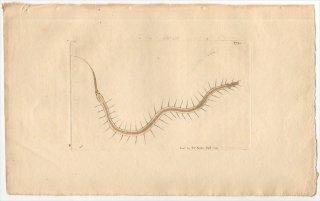 1799年 Shaw & Nodder Naturalist's Miscellany No.379 ミズミミズ科 ミズミミズ属 ROSTRATED NAIS