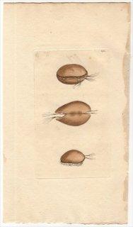 1799年 Shaw & Nodder Naturalist's Miscellany No.390 キプリス科 キプリス属 MUSCLE MONOCULUS