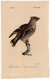 1820年 Temminck 鳥類学マニュアル レンジャク科 レンジャク属 キレンジャク Bombycivoia garrula