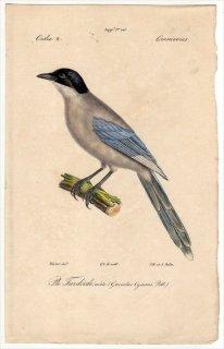 1820年 Temminck 鳥類学マニュアル カラス科 オナガ属 オナガ Garrulus cyanus