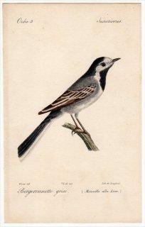 1820年 Temminck 鳥類学マニュアル セキレイ科 セキレイ属 タイリクハクセキレイ Motacilla alba