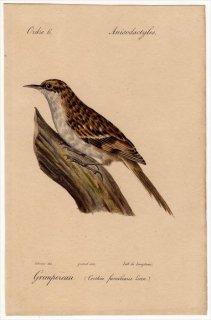 1820年 Temminck 鳥類学マニュアル キバシリ科 キバシリ属 キバシリ Certhia familiaris