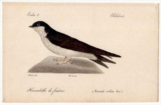 1820年 Temminck 鳥類学マニュアル ツバメ科 イワツバメ属 ニシイワツバメ Hirundo urbica