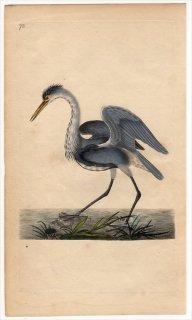 1797年 Donovan 英国鳥類史 初版 Pl.73 サギ科 アオサギ属 アオサギ ARDEA CINEREA
