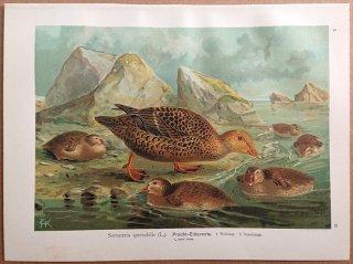 1902年 Naumann 中欧の鳥類の自然史 10巻 Pl.22 カモ科 ケワタガモ属 ケワタガモ 雌 幼鳥 Somateria spectabilis