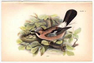 1894年 Sharpe Birds of Great Britain Pl.2 カラス科 カケス属 カケス JAY