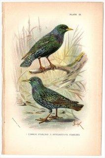 1894年 Sharpe Birds of Great Britain Pl.3 ムクドリ科 ムクドリ属 ホシムクドリ STARLING