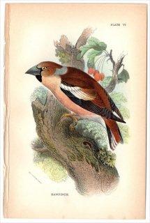 1894年 Sharpe Birds of Great Britain Pl.6 アトリ科 シメ属 シメ HAWFINCH