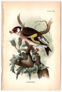 1894年 Sharpe Birds of Great Britain Pl.8 アトリ科 ヒワ属 ゴシキヒワ GOLDFINCH