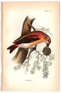 1894年 Sharpe Birds of Great Britain Pl.9 アトリ科 イスカ属 イスカ CROSSBILL