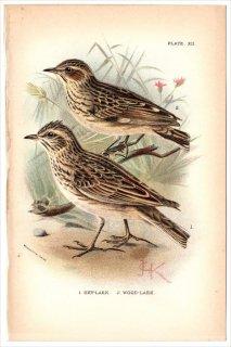 1894年 Sharpe Birds of Great Britain Pl.12 ヒバリ科 ヒバリ属 ヒバリ SKYLARK モリヒバリ属 モリヒバリ WOODLARK