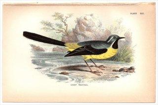 1894年 Sharpe Birds of Great Britain Pl.13 セキレイ科 セキレイ属 キセキレイ GREY WAGTAIL