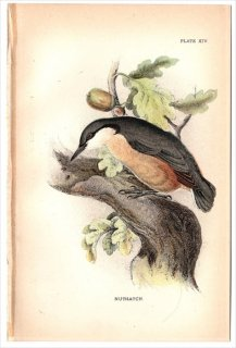 1894年 Sharpe Birds of Great Britain Pl.14 ゴジュウカラ科 ゴジュウカラ属 ゴジュウカラ NUTHATCH