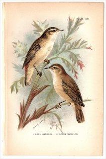 1894年 Sharpe Birds of Great Britain Pl.21 ヨシキリ科 ヨシキリ属 ヨーロッパヨシキリ REED WARBLER スゲヨシキリ SEDGE WARBLER