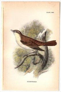 1894年 Sharpe Birds of Great Britain Pl.23 ヒタキ科 サヨナキドリ属 サヨナキドリ NIGHTINGALE