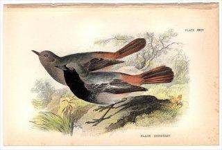 1894年 Sharpe Birds of Great Britain Pl.24 ツグミ科 ジョウビタキ属 クロジョウビタキ BLACK REDSTART