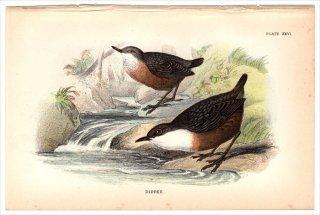 1894年 Sharpe Birds of Great Britain Pl.26 カワガラス科 カワガラス属 ムナジロカワガラス DIPPER