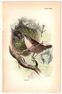 1894年 Sharpe Birds of Great Britain Pl.27 ミソサザイ科 ミソサザイ属 ミソサザイ WREN