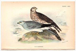 1896年 Sharpe Birds of Great Britain Pl.42 タカ科 チュウヒ属 ハイイロチュウヒ HEN HARRIER