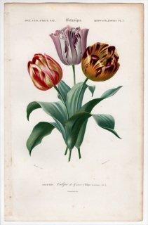 1849年 D'Orbigny 万有博物事典 Pl.3 ユリ科 チューリップ属 チューリップ Tulipa gesneriana