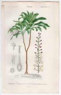 1849年 D'Orbigny 万有博物事典 Pl.12 キジカクシ科 センネンボク属 センネンボク Dracaena brasiliensis