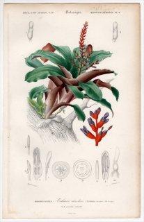 1849年 D'Orbigny 万有博物事典 Pl.4 パイナップル科 サンゴアナナス属 サンゴアナナス Aechmea discolor