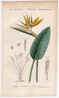 1849年 D'Orbigny 万有博物事典 Pl.16 ゴクラクチョウカ科 ゴクラクチョウカ属 ゴクラクチョウカ Strelitzia reginae