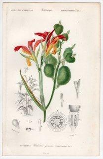 1849年 D'Orbigny 万有博物事典 Pl.3 カンナ科 カンナ属 ダンドク Canna speciosa