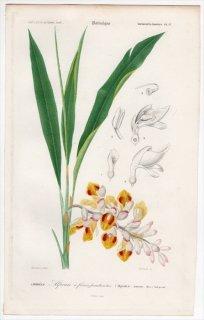 1849年 D'Orbigny 万有博物事典 Pl.17 ショウガ科 ハナミョウガ属 Alpinia nutans
